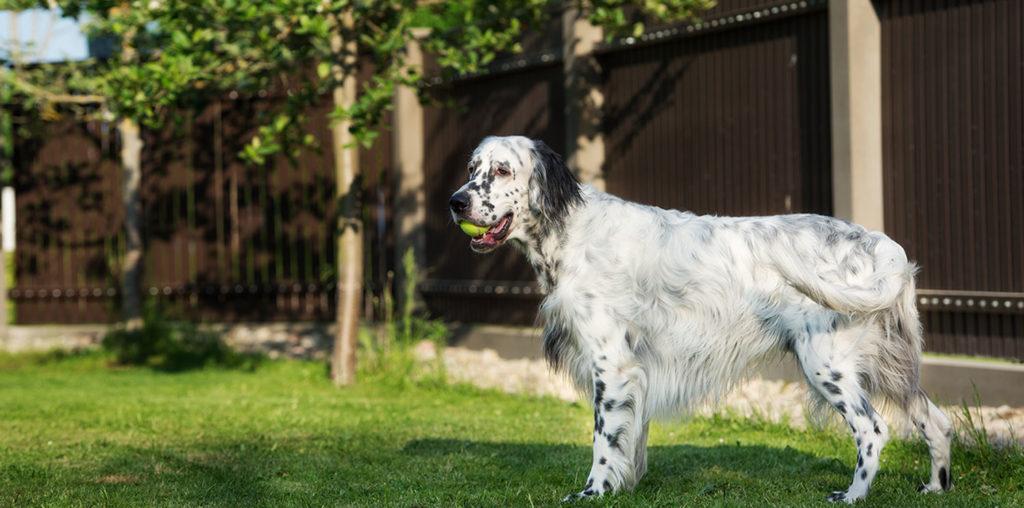 Dog playing inside fenced backyard